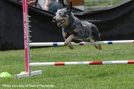 Australian Cattle Dog jumping over agility poles