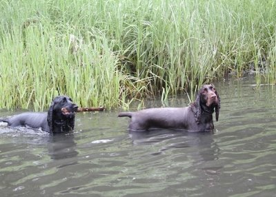 Two Field Spaniels swimming in the water