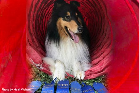 Photo of Benny the Collie sitting in an agility tunnel
